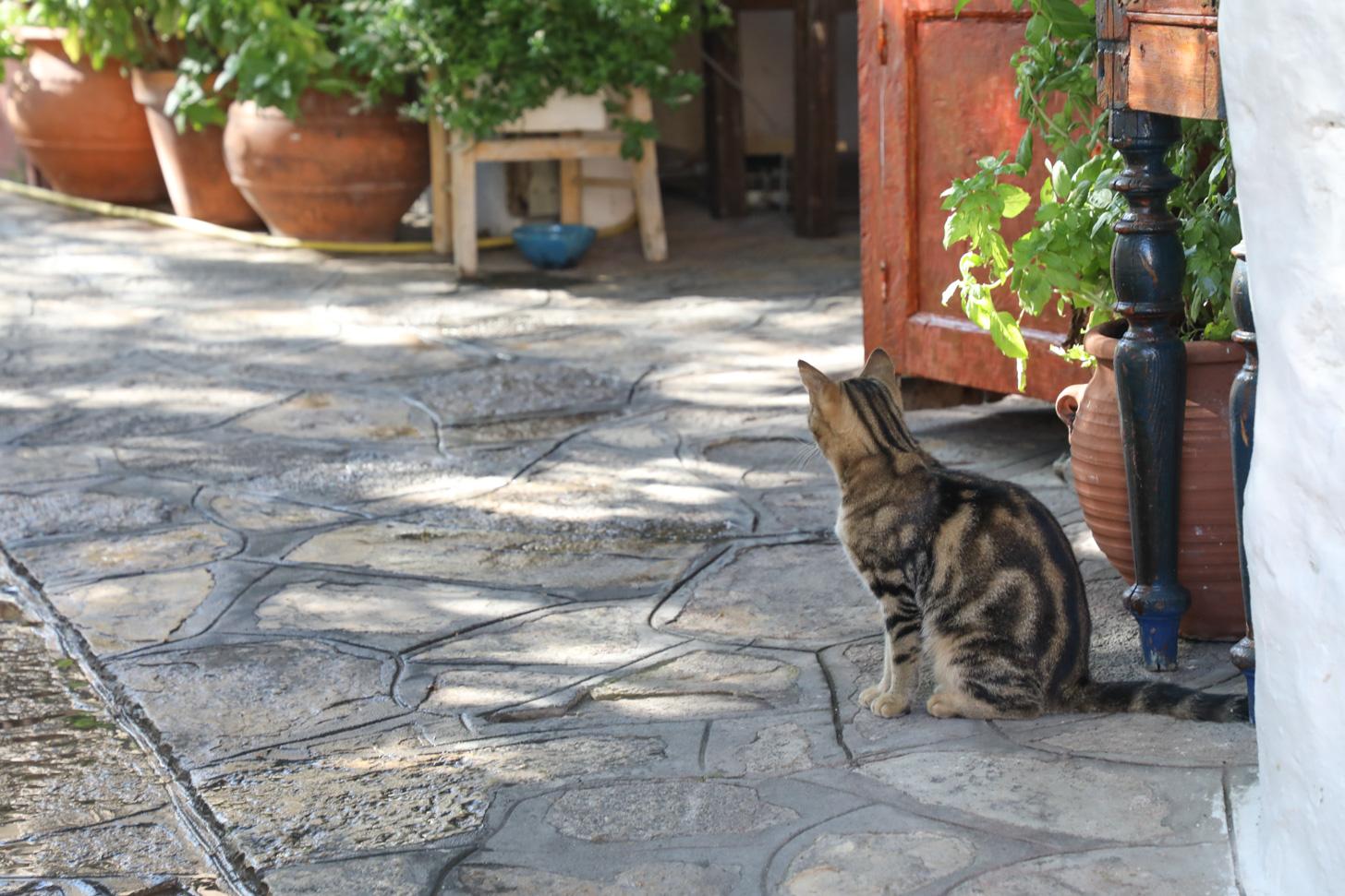Op Samos zie je veel katten.